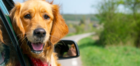 Golden Retriever mit rotem Halstuch schaut aus dem Autofenster