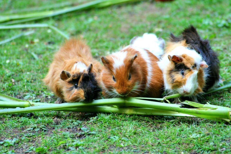 3 Meerschweinchen auf einer Wiese nebeneinander, alle am futtern