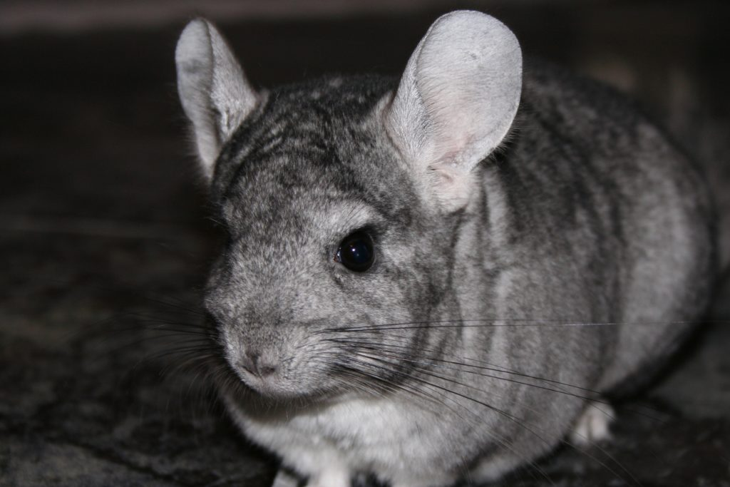 chinchilla-723359