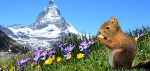 Eine Bergwiese mit Blumen, Eichhörnchen und dem Matterhorn im Hintergrund