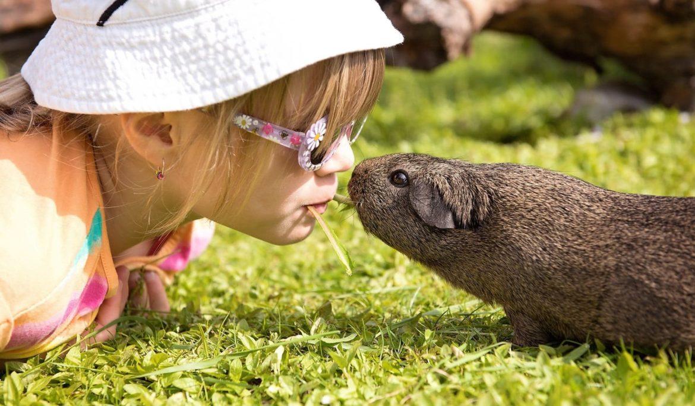 Kleines Mädchen schmust mir ihrem Meerschweinchen