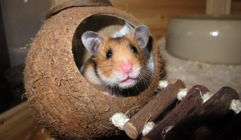 Hamster kuckt aus einer Kokosnuss als Häuschen