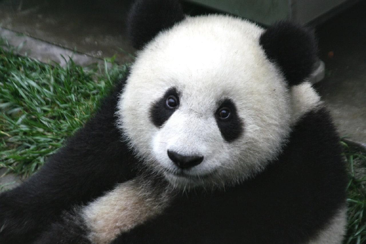 Pandabär schaut in die Kamera