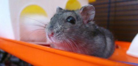 Grauer Hamster auf einer Rutsche vor seiner Hütte