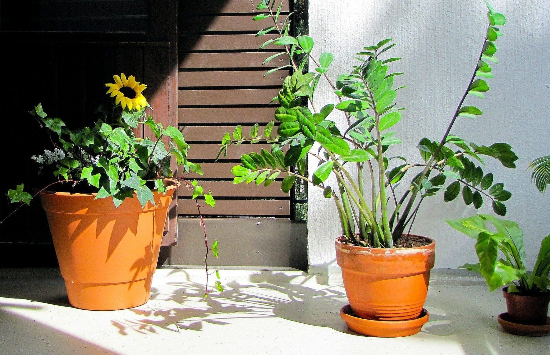 zimmerpflanzen kaufen 6 beliebte zimmerpflanzen bei amazon. Black Bedroom Furniture Sets. Home Design Ideas