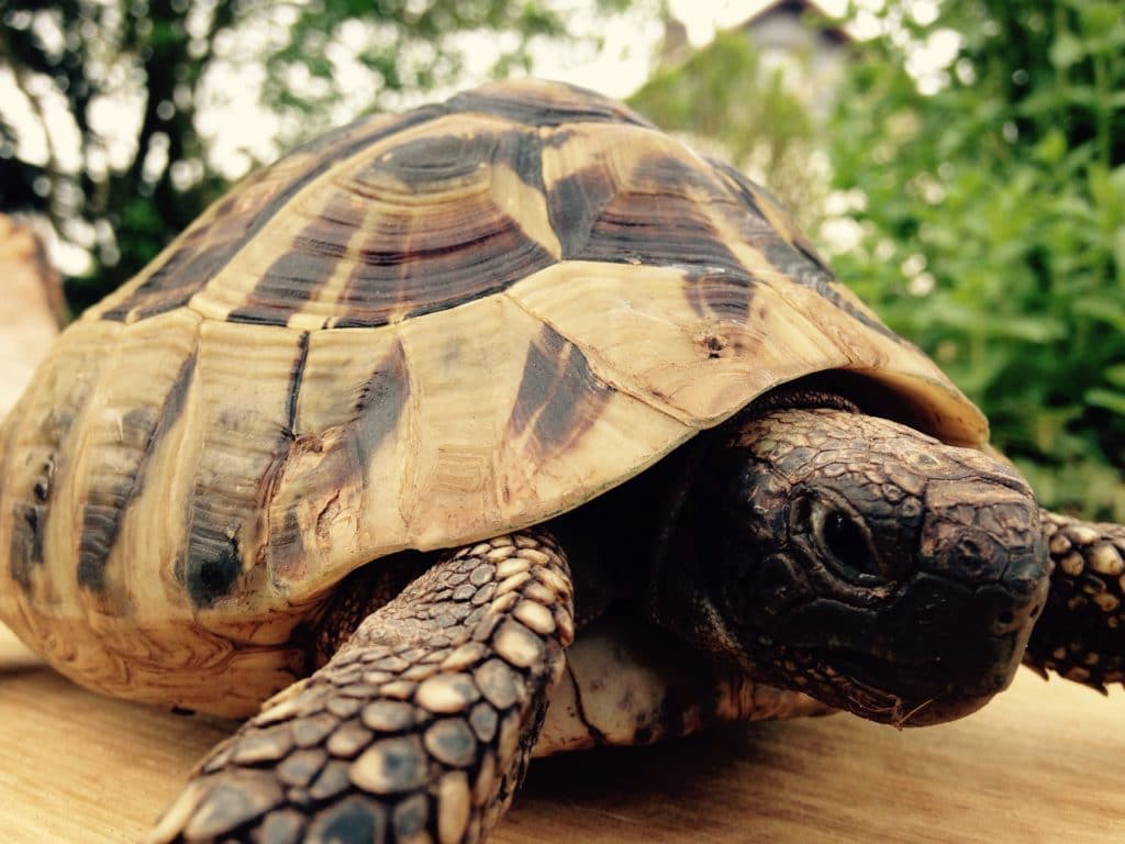 Schildkröte auf Tisch