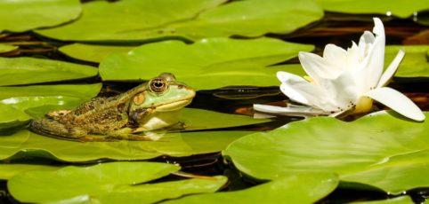 Gartenteich mit Seerosen und einem Frosch auf einem Seerosenblatt