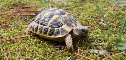 Schildkröte krabbelt auf Moos herum