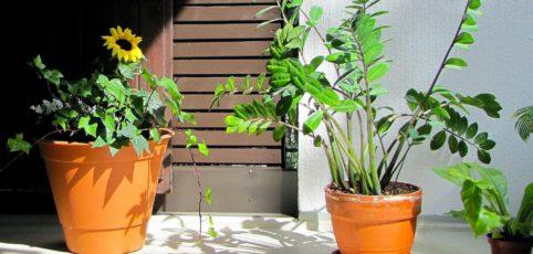 Glücksfeder in Terrakotta-Topf auf einer Bank im Wintergarten