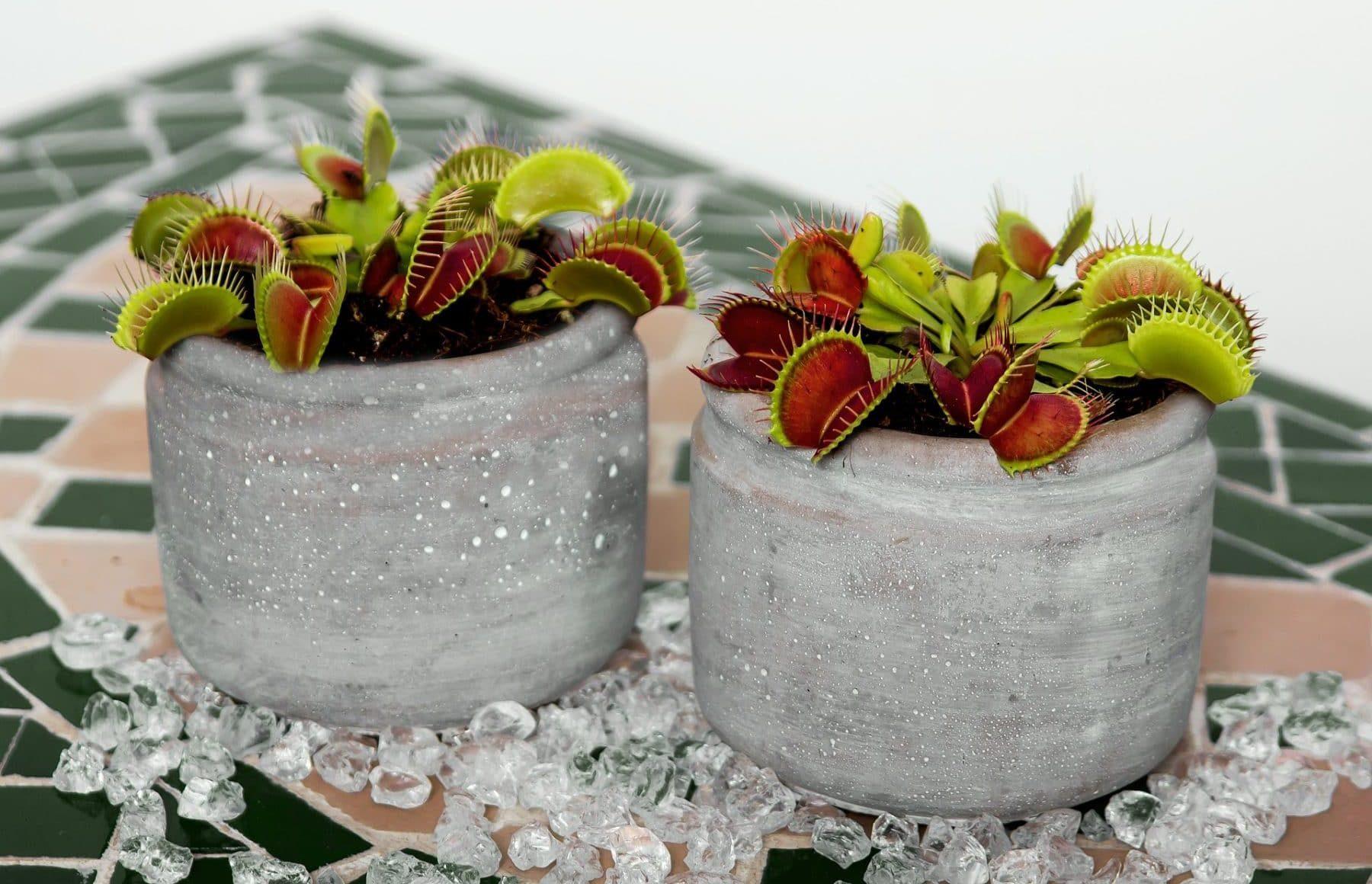 fleischfressende pflanzen richtig pflegen karnivoren halten. Black Bedroom Furniture Sets. Home Design Ideas