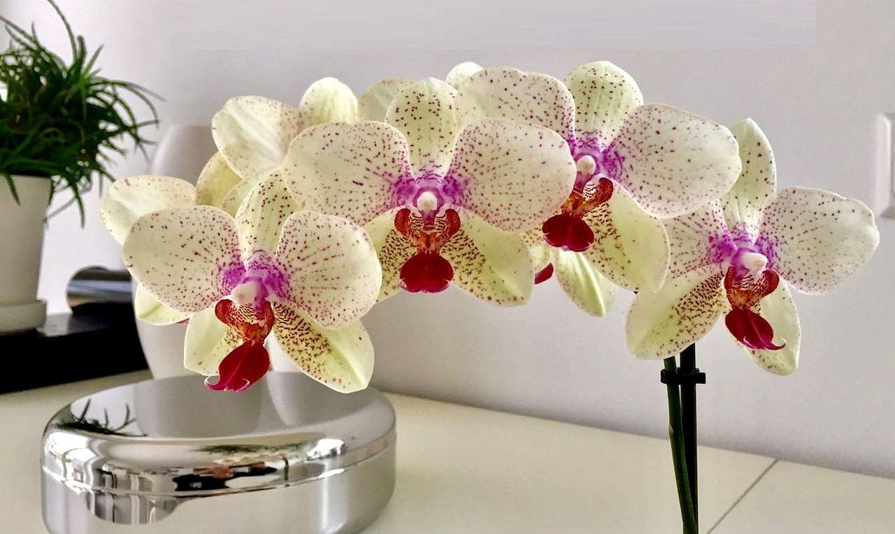 Schöne Orchideenrispe