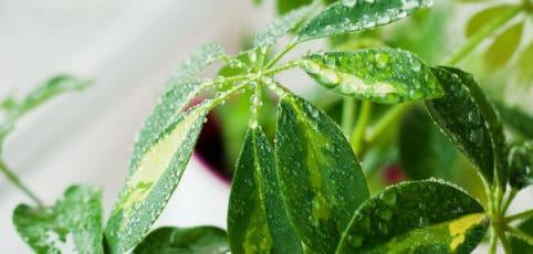 Grün-gelbe Blätter der Schefflera mit Wassertropfen auf den Blättern