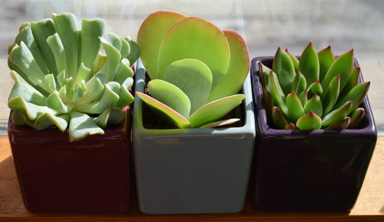 Sukkulenten in kleinen Töpfen nebeneinander
