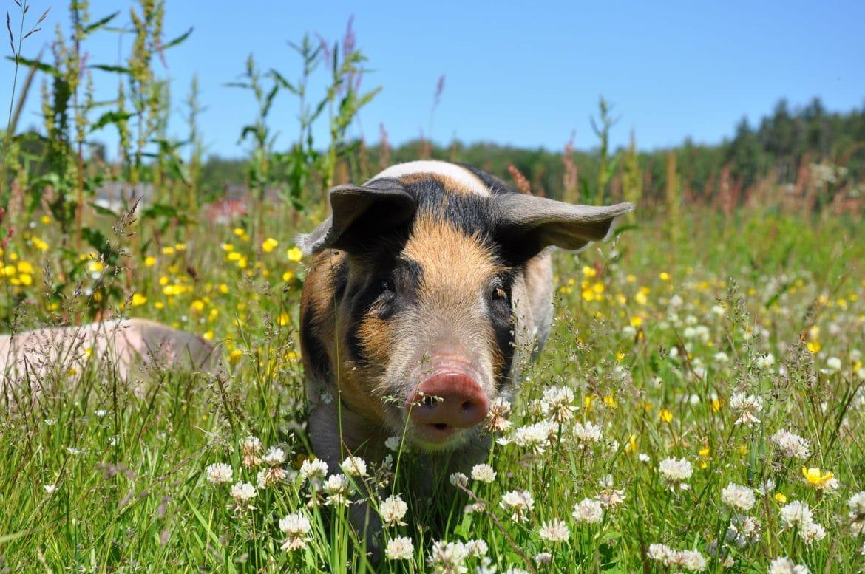 Minischwein auf der Blumenwiese
