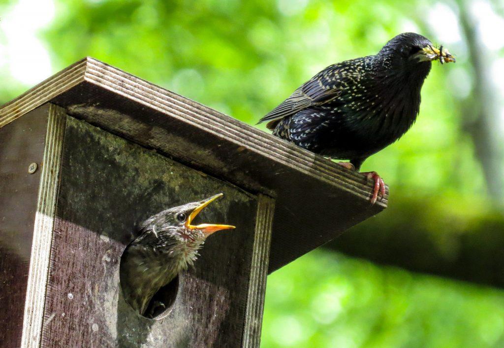 Stare im Frühling beim füttern der Jungvögel