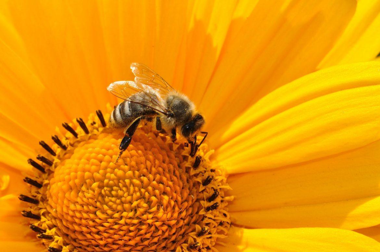 Biene auf eine Sonnenblume