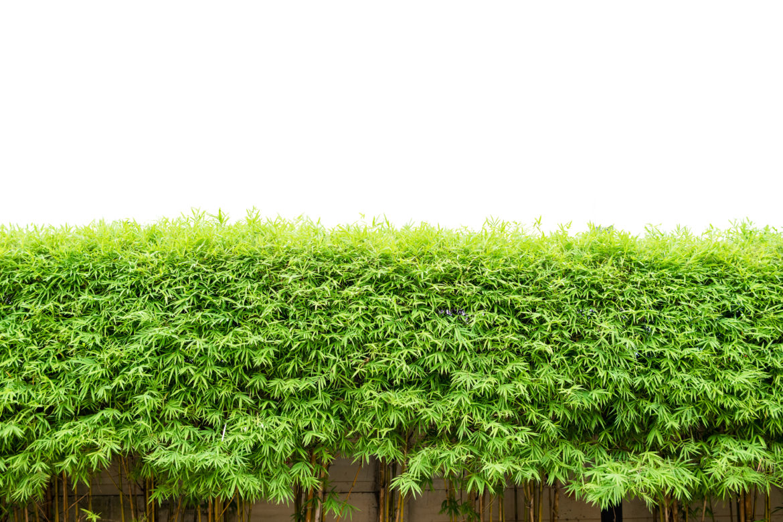 grüne Bambushecke